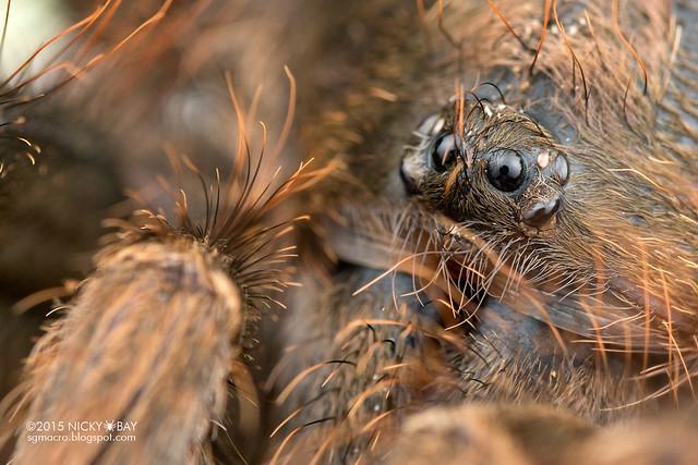 Tarantula (Theraphosidae) - DSC_2449