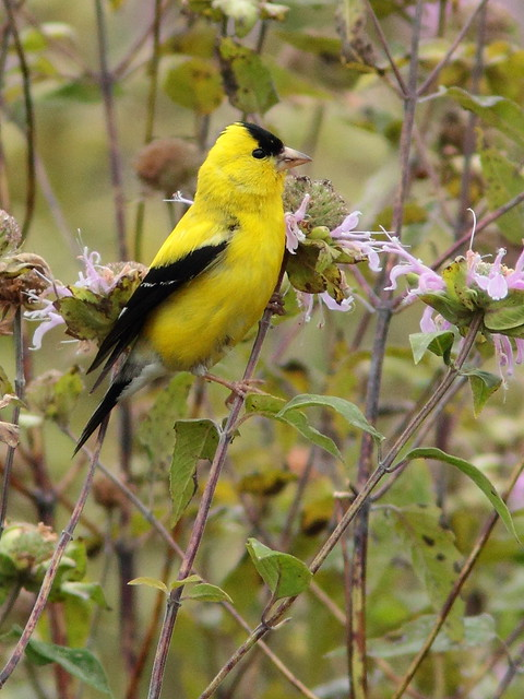 American Goldfinch 20150826