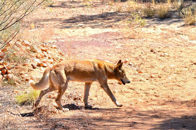 Dingo - Larapinta Trail