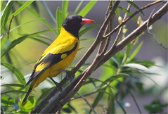 animal(1.0), eurasian golden oriole(1.0), branch(1.0), fauna(1.0), finch(1.0), beak(1.0), bird(1.0),