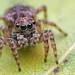 Naphrys pulex jumping spider by Tibor Nagy