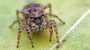 Naphrys pulex jumping spider