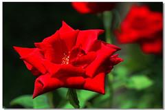 玫瑰花 '15