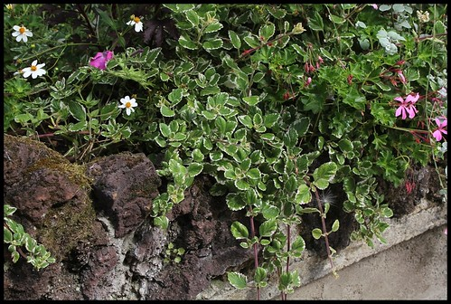 Plectranthus glabratus (= Plectranthus coleoides) 21924173214_b029b46cf4