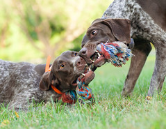 179 Piper and Bella playing tug