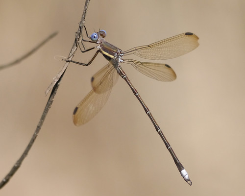 Great Spreadwing - 2