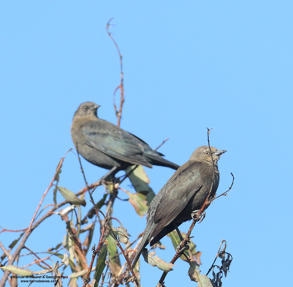 Brewer's-Blackbird-female-lerma9346