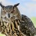 Eurasian Eagle Owl at Grand Teton National Park, Wyoming by D200-PAUL