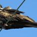 Magnificent Frigatebird por Birdernaturalist
