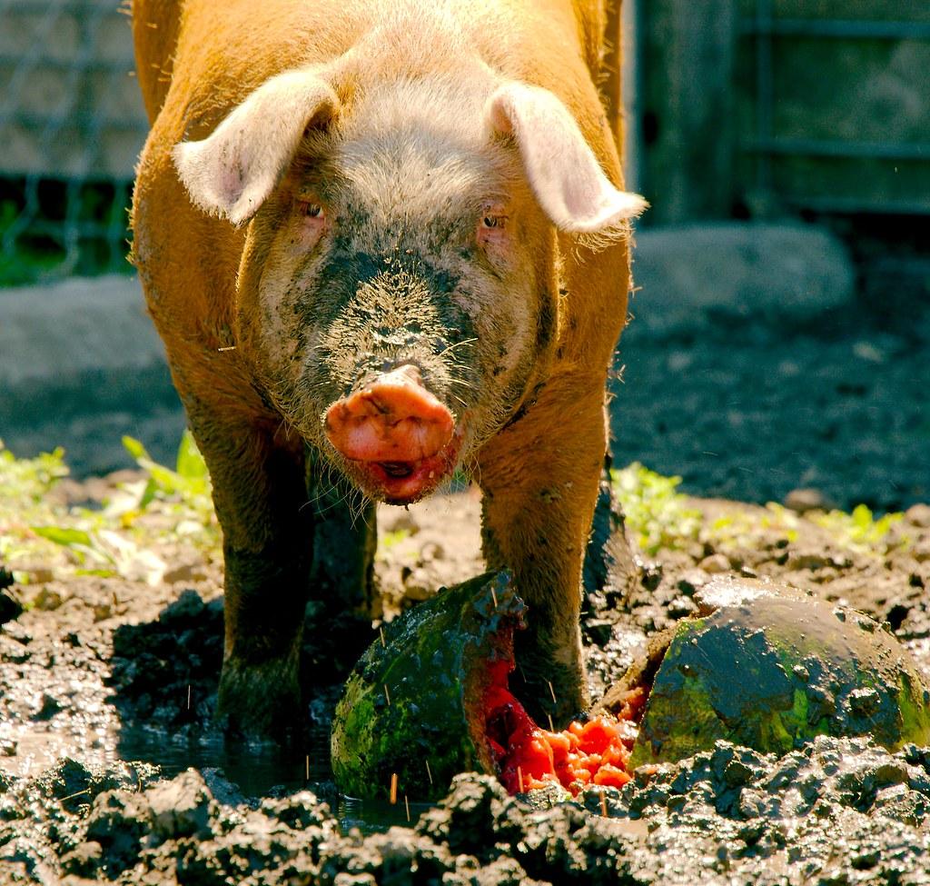 Pig_28