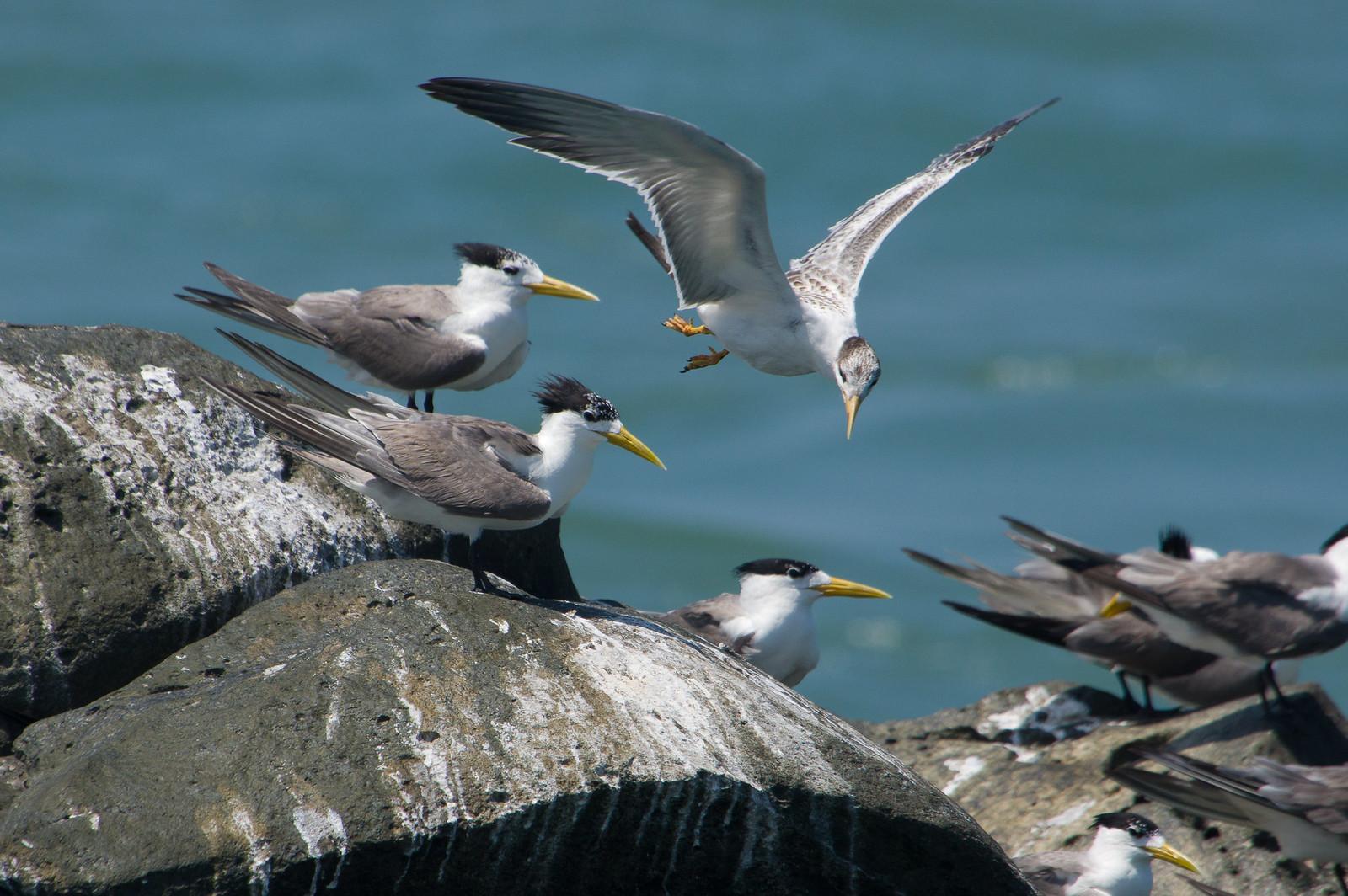 鳳頭燕鷗降落版