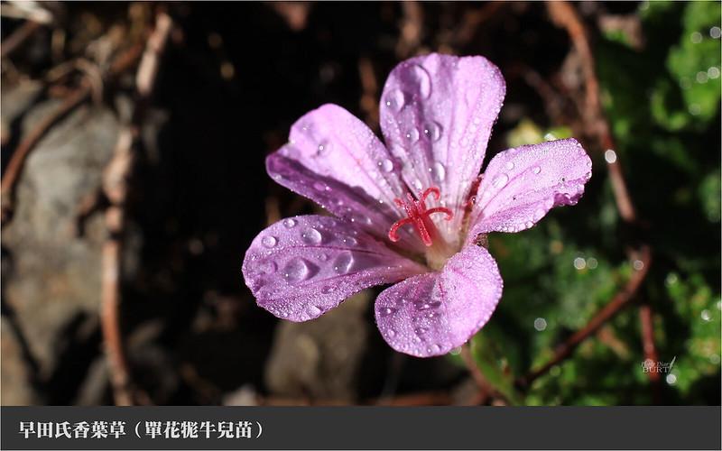 早田氏香葉草5
