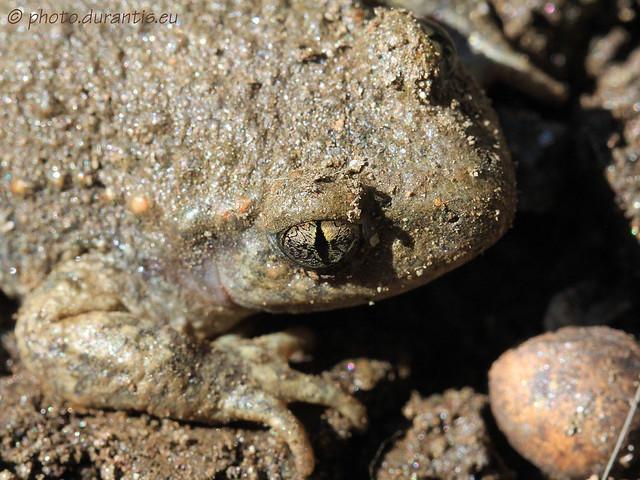 Bufo bufo · Crapaud commun · Erdkröte