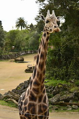 Giraffa camelopardalis DT [NZ Auckland Zoo] (8)