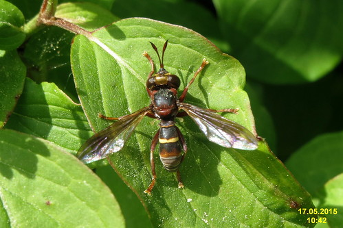 A thick-headed fly (O. Alb)
