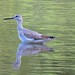 Greater Yellowlegs by U.S. Fish and Wildlife Service - Midwest Region