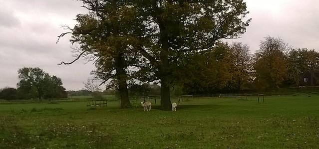 Wooly animals near Little Gaddesden