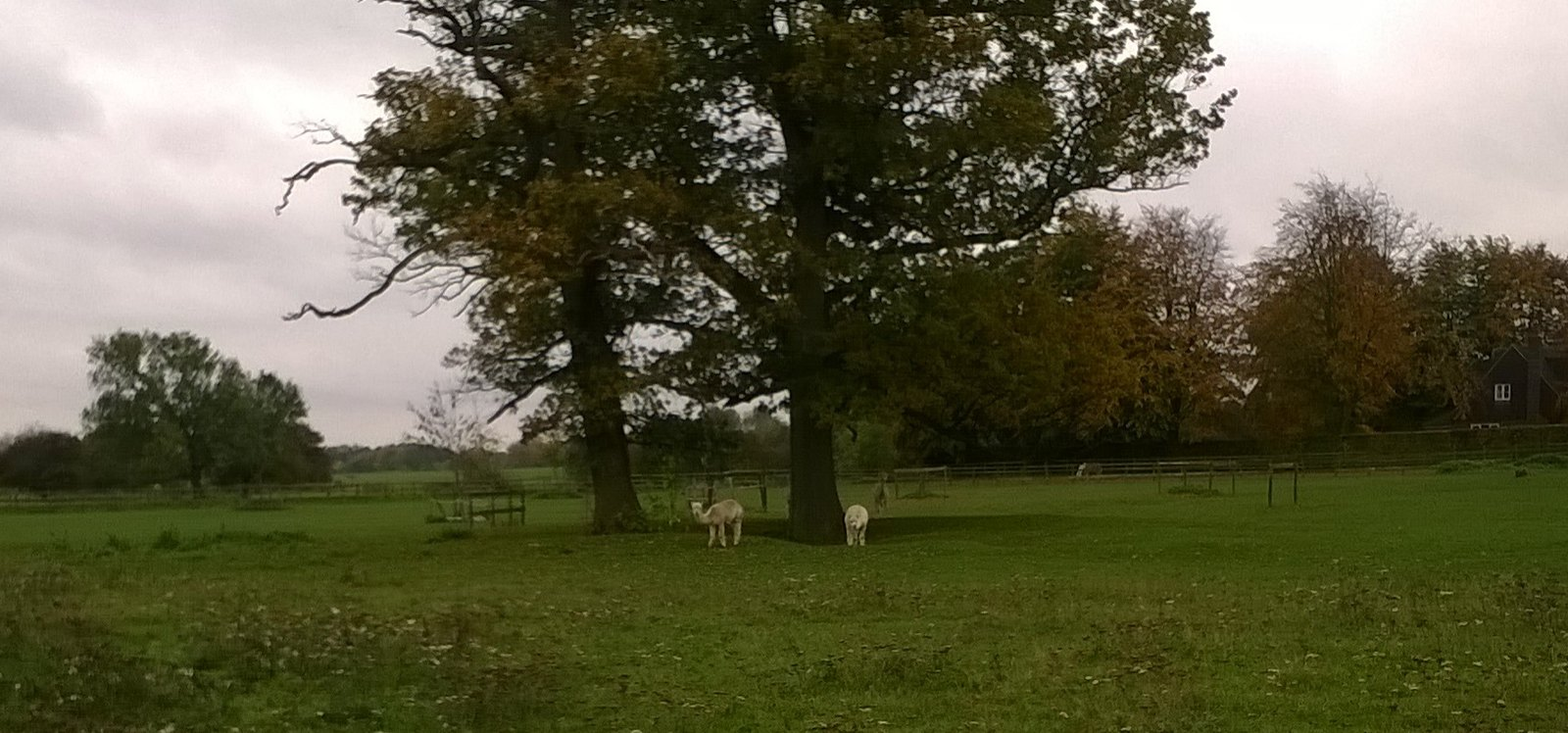 Wooly animals near Little Gaddesden Alpacas or llamas