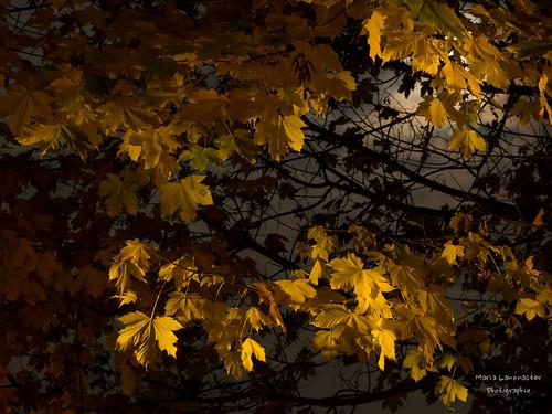 Wenn das Mondlicht durch das Herbstlaub scheint ...