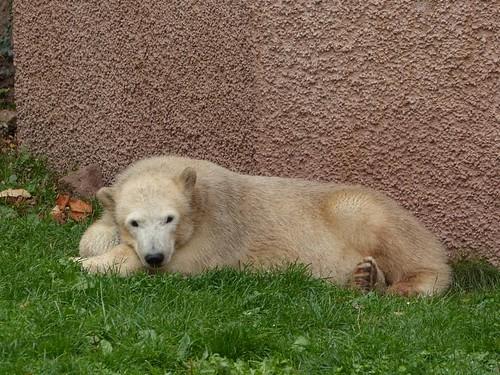 Eisbärmädchen Charlotte
