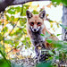 RED FOX by imeshome