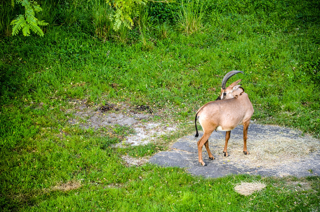 AKL antelope