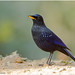 Blue Whistling Thrush by Aravind Venkatraman