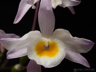 Dendrobium findlayanum | by TwilightShadow