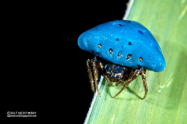 Orb weaver spider (Cyrtarachne sp.) - DSC_9213