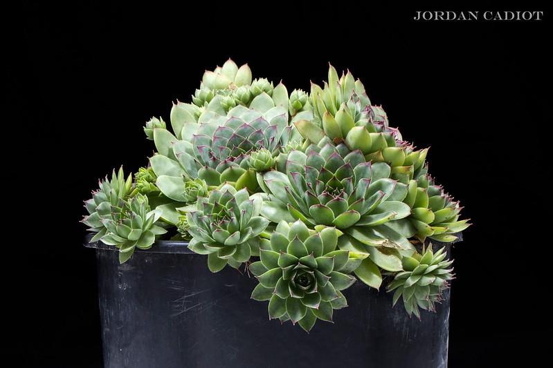 Sempervivum (joubarbe) et Aeonium arboreum  20034954753_bfe0d53880_c