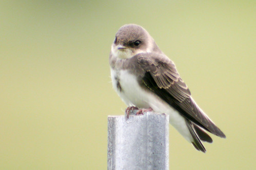 bird wildlife birding ornithology birdwatching oiseau faune bankswallow ornithologie hirondellederivage