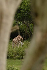 Giraffa camelopardalis tippelskirchi DT [UG Entebbe] (2)
