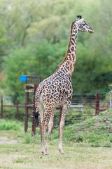 Giraffe Standing in Field