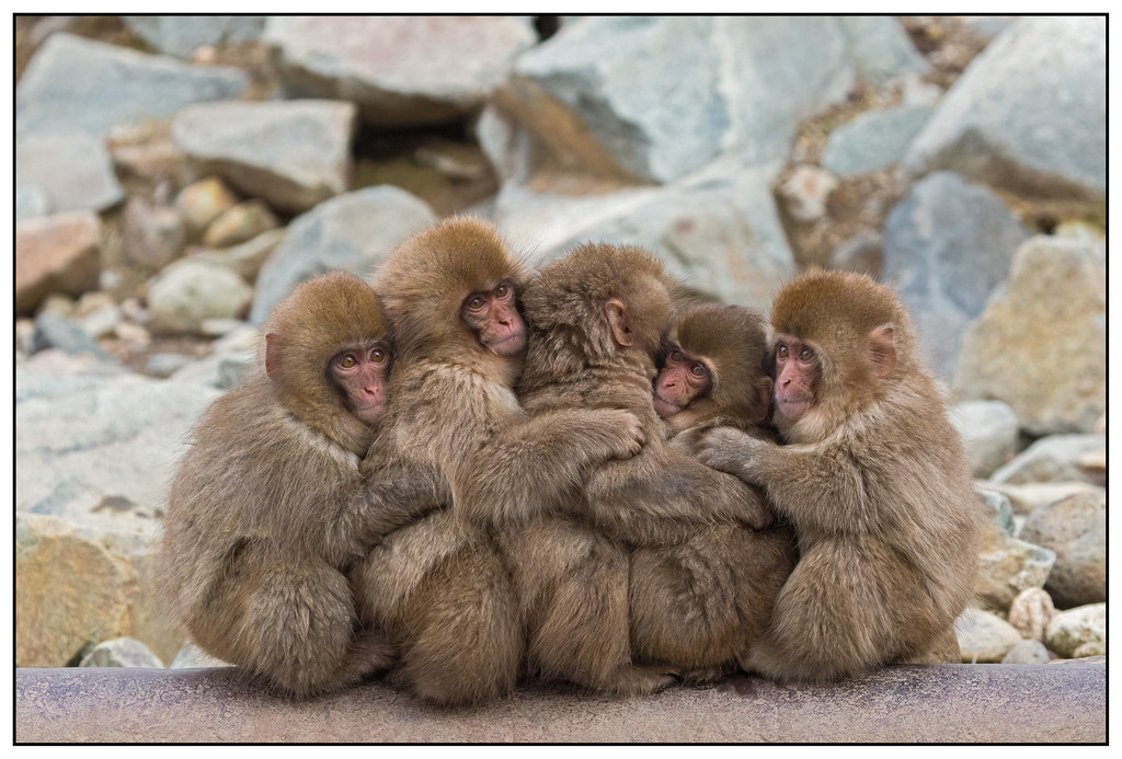 Snow Monkeys, Macaca (Macaca fuscata) (Japanse makaak) in het Jigokudani Monkey Park, nabij Nagano in Japan ….