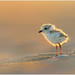 Piping Plover by BN Singh