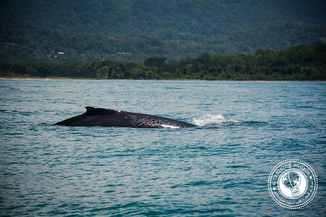Baby Humpback Whale Costa Rica