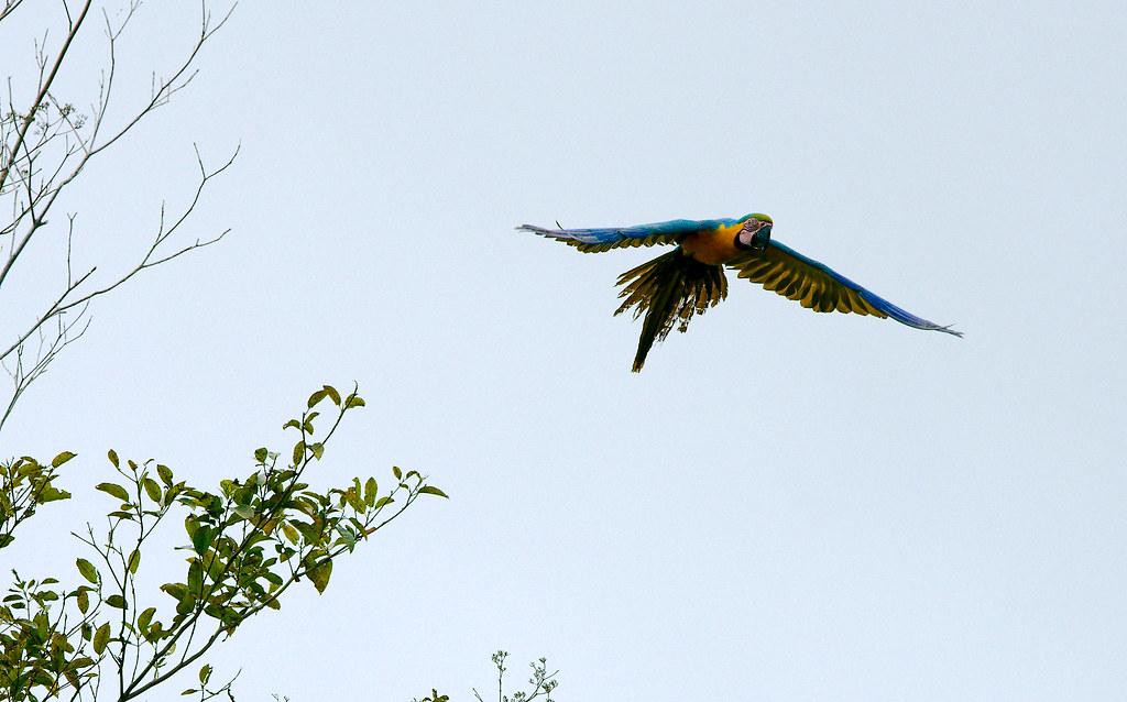Macaw_48