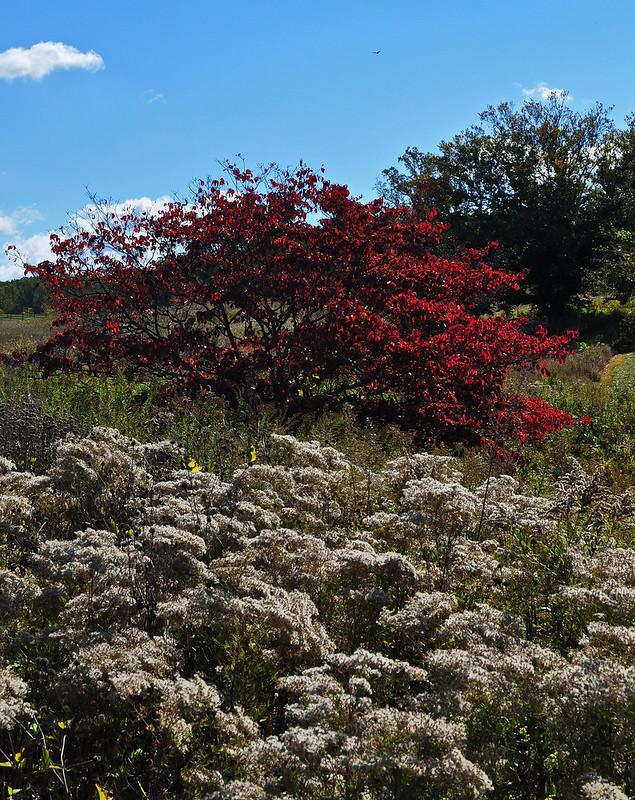 Meadow Garden- with Cornus florida in background (2)