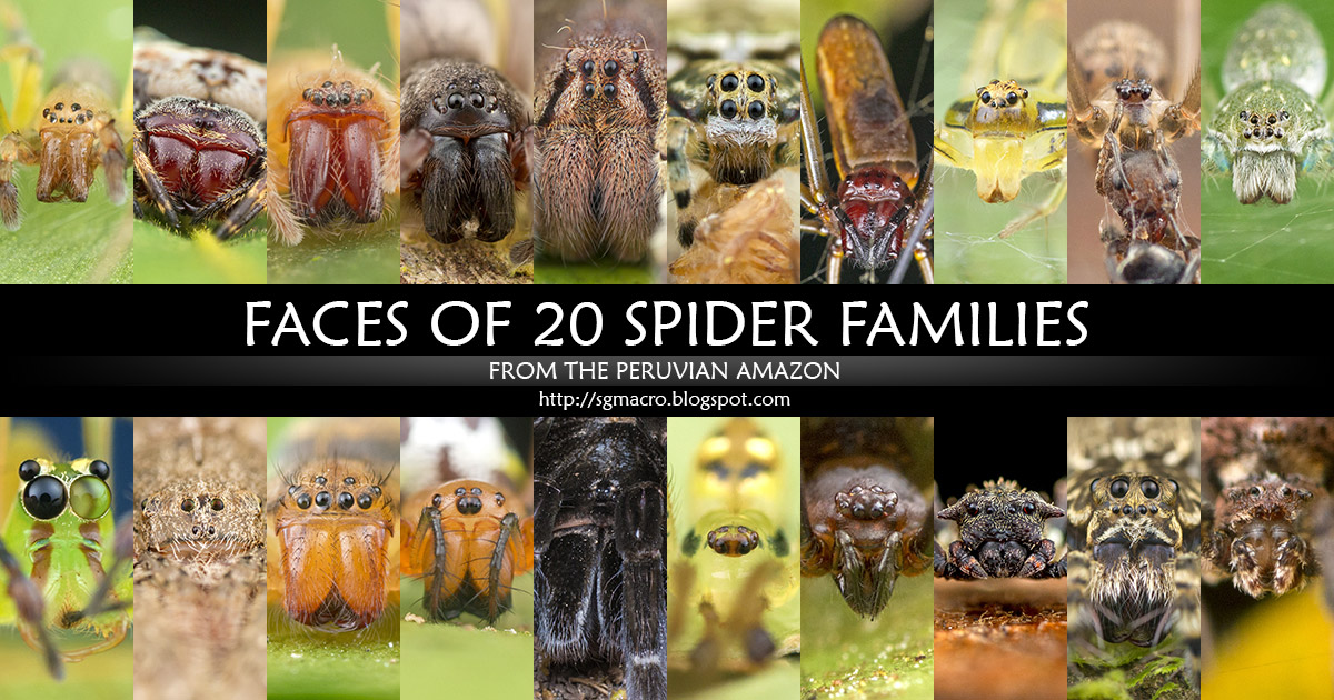 Faces of 20 Spider Families from the Peruvian Amazon