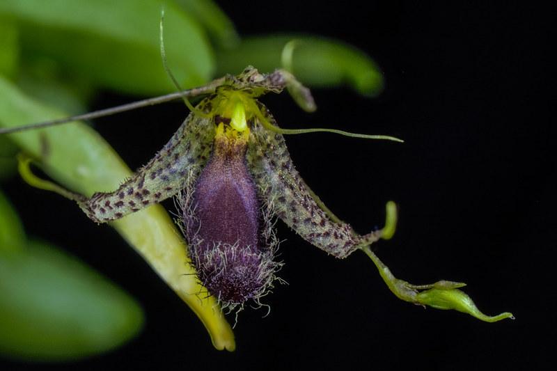 Miniatur-Orchideen 2. Teil - Seite 22 23593898482_0be84d247c_c