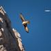 """""""Planeur contre moteurs."""" Gypaète barbu - Massif du Bargy, Haute-Savoie. by Raphaël Grinevald • Photographe"""