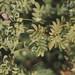 Small photo of Euphorbia portlandica in rose sward. Herm