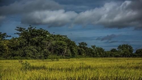 provinciadecoclã© panama provinciadecoclé juanhombron ricefields