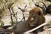 Delta Lion 2 by MeganKarine