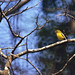 Small photo of Common Iora (Aegithina tiphia) female
