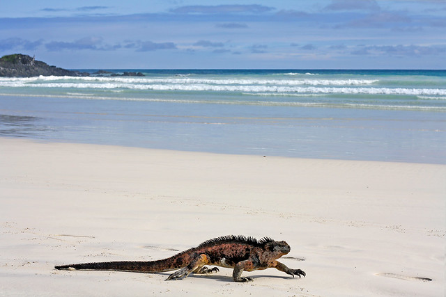 A iguana walks across the beach at Tortuga Bay on Santa Cruz Island