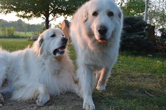 dog breed, animal, polish tatra sheepdog, dog, maremma sheepdog, slovak cuvac, golden retriever, carnivoran, great pyrenees,