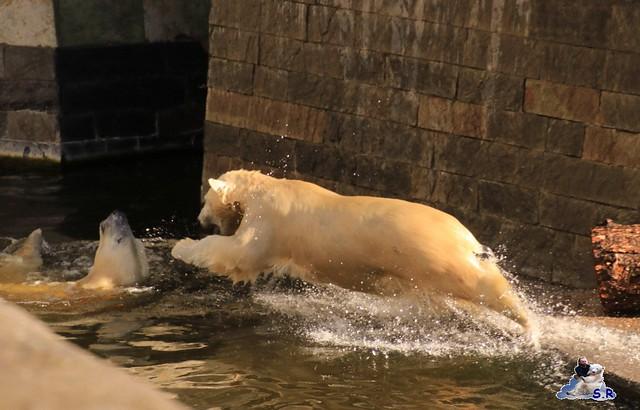 Eisbär Fiete im Zoo Rostock 26.09.2015   042