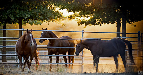 ranch trees sunset horses horse sun backlight wildlife dirt napavalley napa backlit dust backlighting raysoflight horsestables