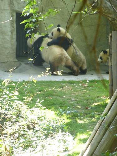 CH-Chengdu-Panda-géant (10)